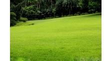 山东草坪基地辽阳绿野草坪
