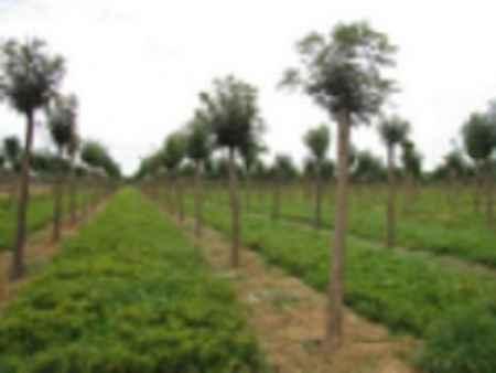 河北绿色苗木种植