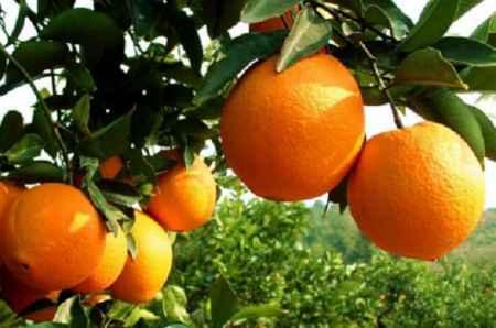 湖北泉河脐橙供货商